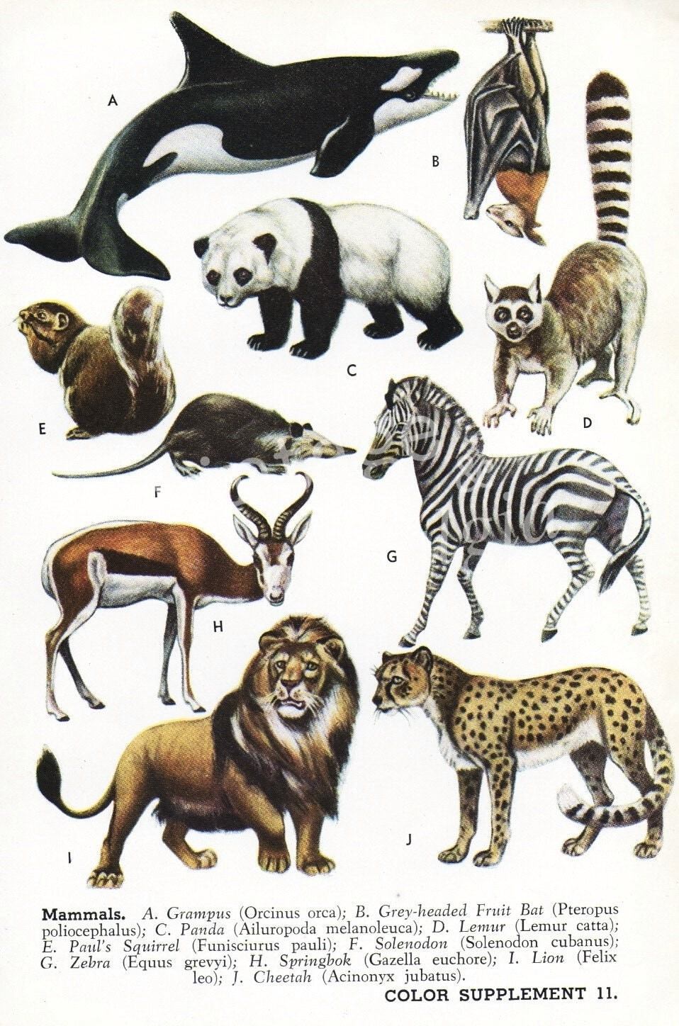 Vintage print orca whale giant panda zebra lion cheetah animal decor
