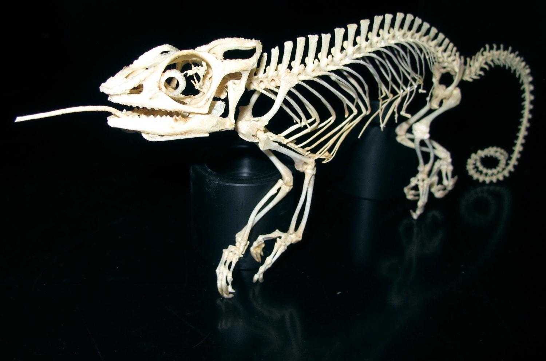 Veiled chameleon skeleton - photo#24