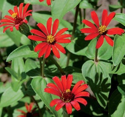 Red Spider Zinnia Flower Seeds