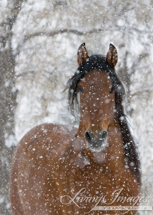 Snow Stallion - Fine Art Horse Photograph - WildHoofbeats