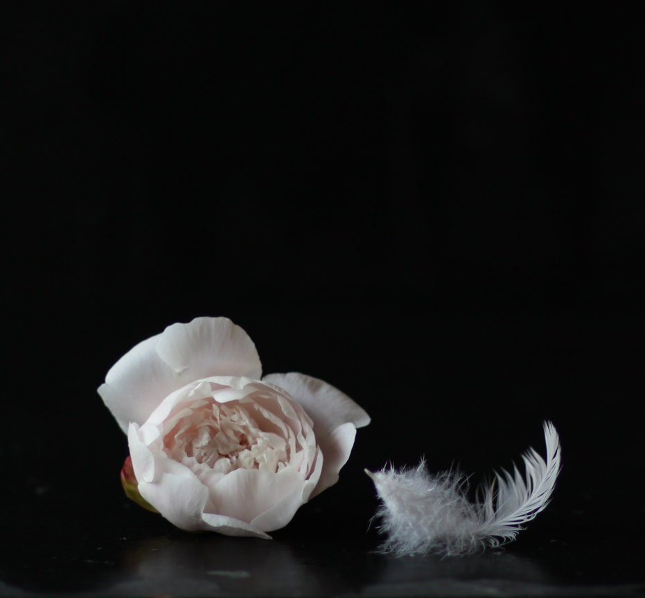 Still Life Photography of a Pale Pink Peony and a White feather on Black - lucysnowephotography