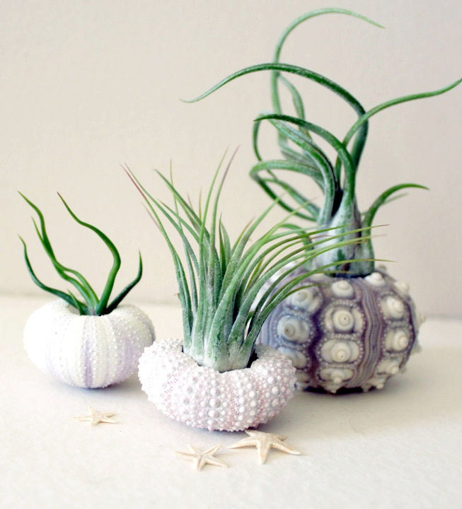 mixed trio // air plant sea urchins // by robincharlotte - peacocktaco