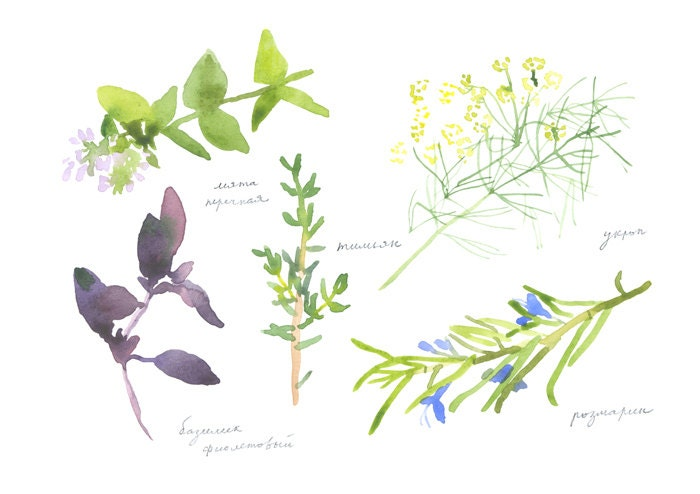 herbs  (peppermint, rosemary, dill, thyme, purple basil) poster or large watercolor postcard