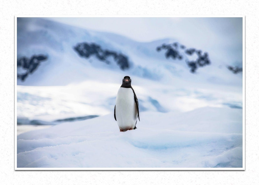 Curiosity, penguins, Antarctica, Nature Photography, Fine Art Photography, Home Decor - SummitsPhotography