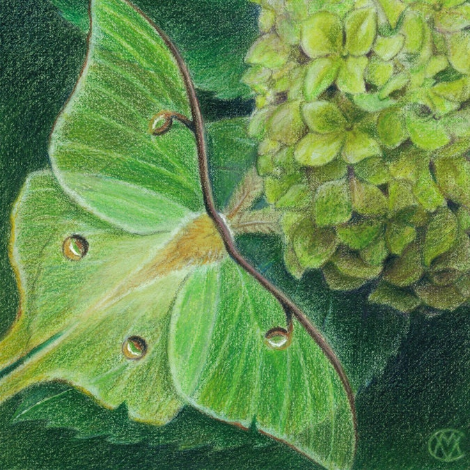 "Green Luna moth on the leaf of a Hydrangea - Art Reproduction (Print) - GREEN in ""Camouflage (Secondary Colors)"" Series - CaryeVDPMahoney"