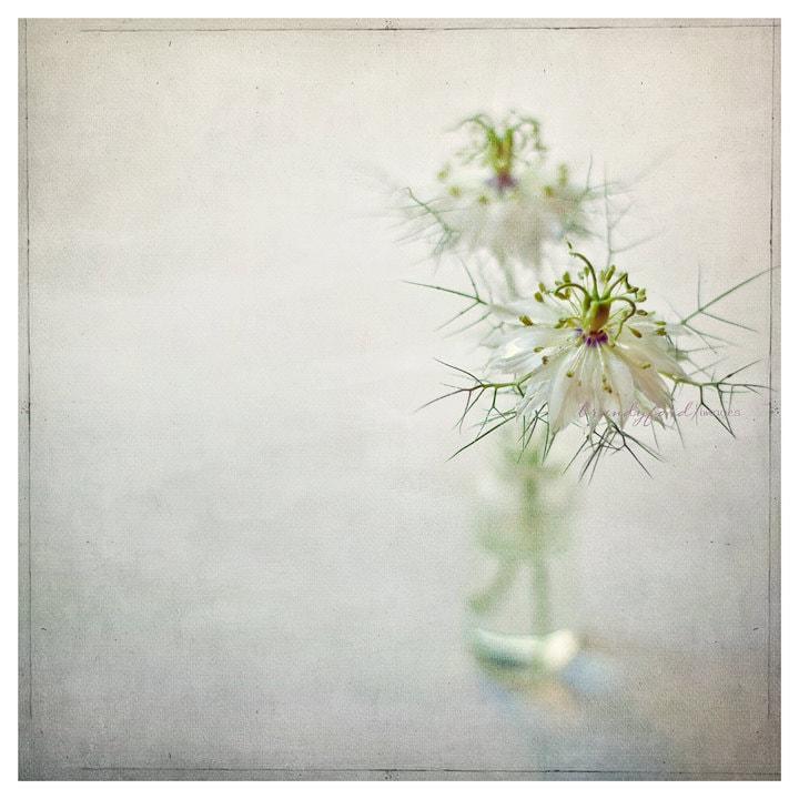 Nigella damascena Photo Love in a mist Devil in the bush Flowers Floral 5x5 Fine Art Prints,Fpoe - BitsofLifeImages