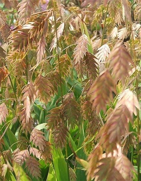 Northern sea oats ornamental grass chasmanthium by brambleoak for Ornamental sea grass