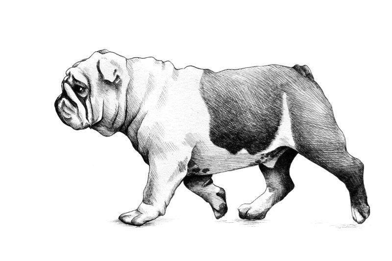 Bulldog Sketch On Etsy A Global Handmade And Vintage