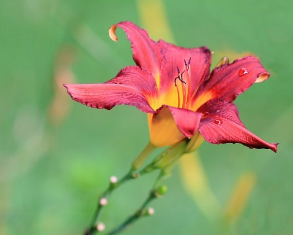Red and Yellow Tiger Lily  Flower Picture  Macro Photography  Nature    Yellow Tiger Lily Flower