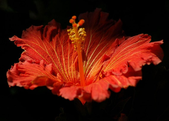 Hibiscus - Life Blood, Red and Yellow Hawaiian Flower Bloom, Contrast Black - elinay