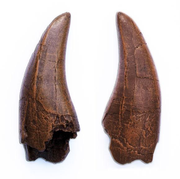 T REX tooth Tyrannosaurus rex dinosaur cast fossil replica Jurassic Park World