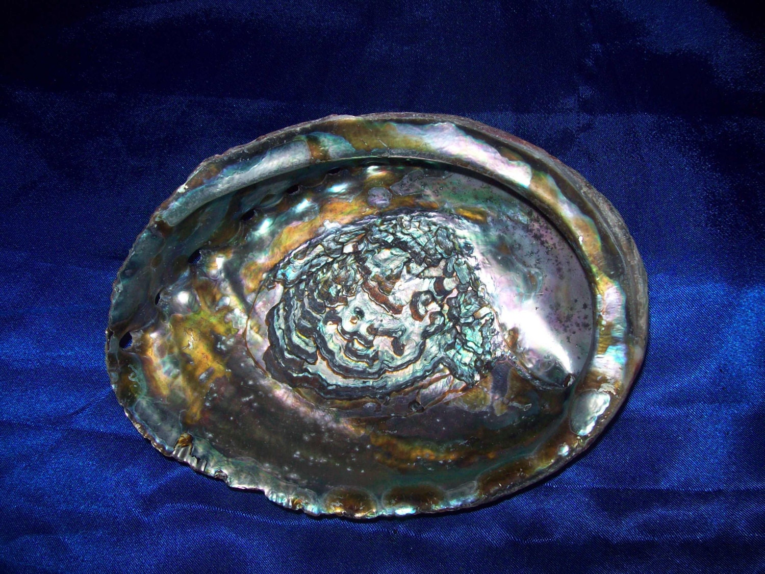 The Giant Abalone Shell from an Old Collection