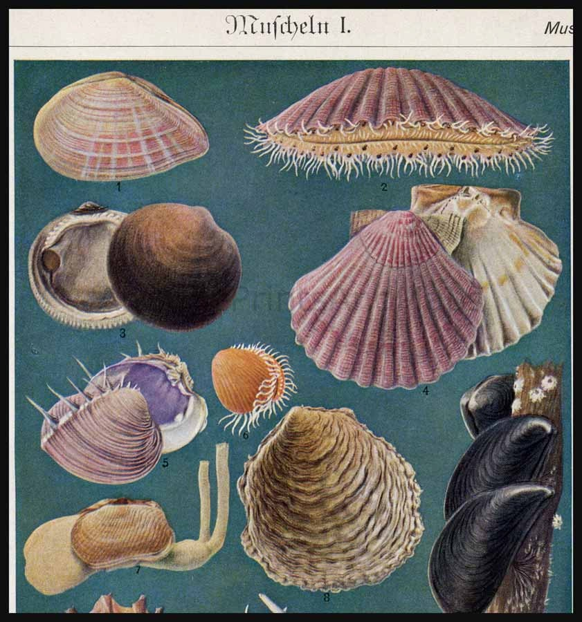 Mussels Saltwater Mollusks Bivalves