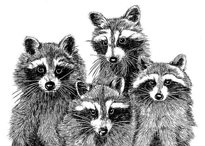 Four Raccoons 5 x 7 Print - maryjill