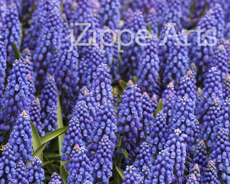 grape hyacinth bloom spring bulb purple flower art by jzippearts. Black Bedroom Furniture Sets. Home Design Ideas