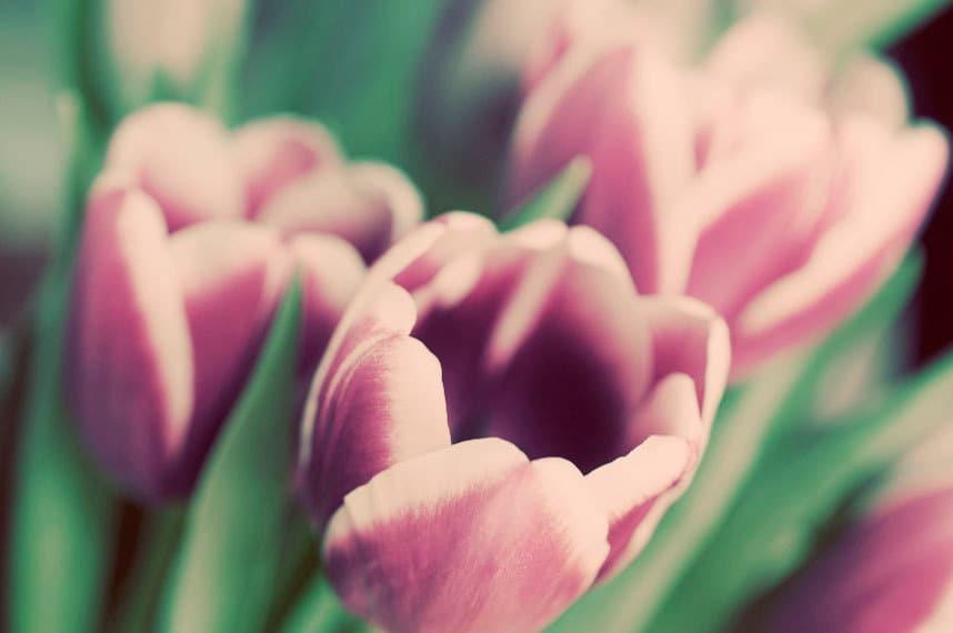 Тюльпан Фотография 8х10 цветов печати - в Солнце - мягкий малиновый розовый зеленый весенний фото