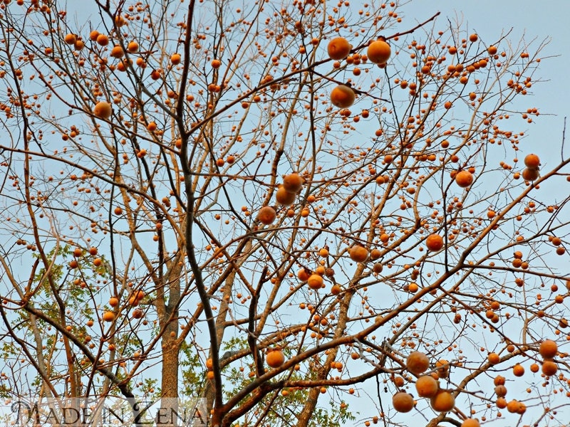 My persimmon tree - fall nature photo in color or b&w bare branches and balls - MadeinZena