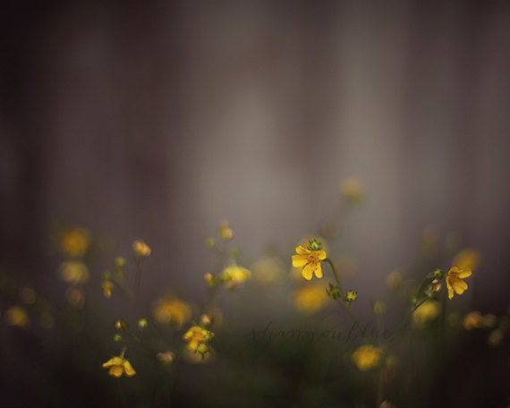 yellow wildflower nature photograph / gray, grey, dark, moody, mustard, botanical / a light int he fog / 8x10 fine art photo - shannonpix