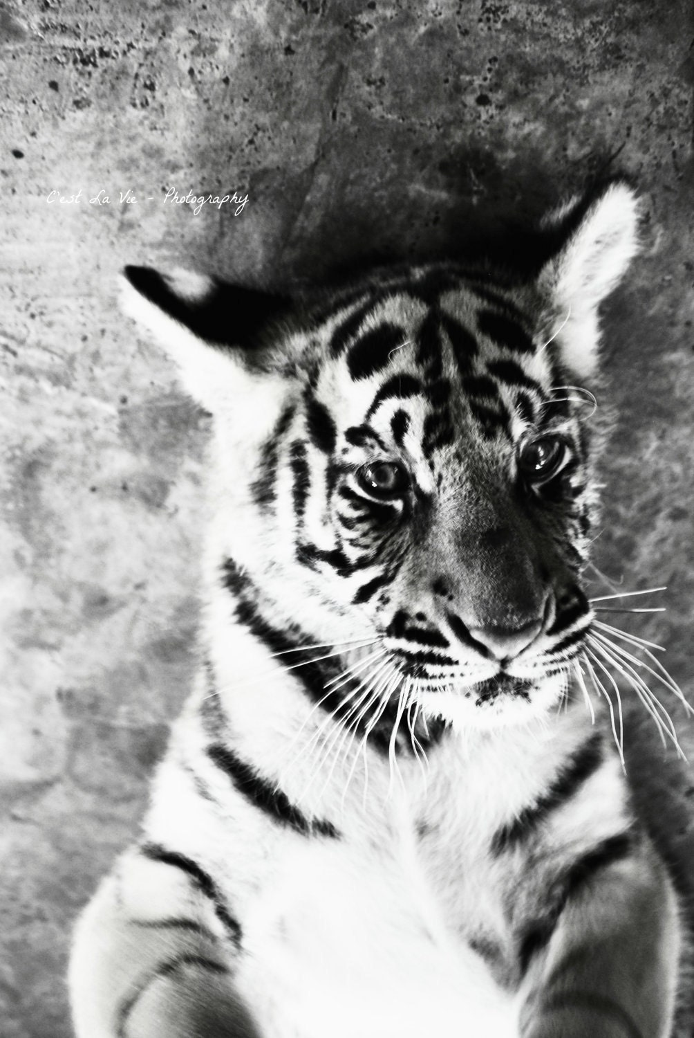tiger black and white Tiger Eyes Black And White Tiger Eyes Black And White