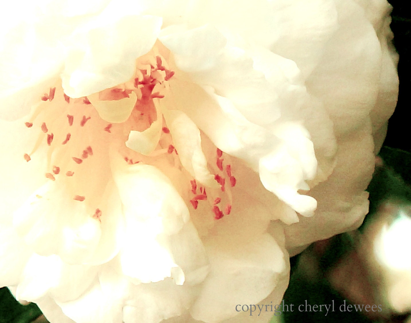 Blush/Fine Art Photo Print/Photography/Flower/Bloom/Pink - PointofViewCreations