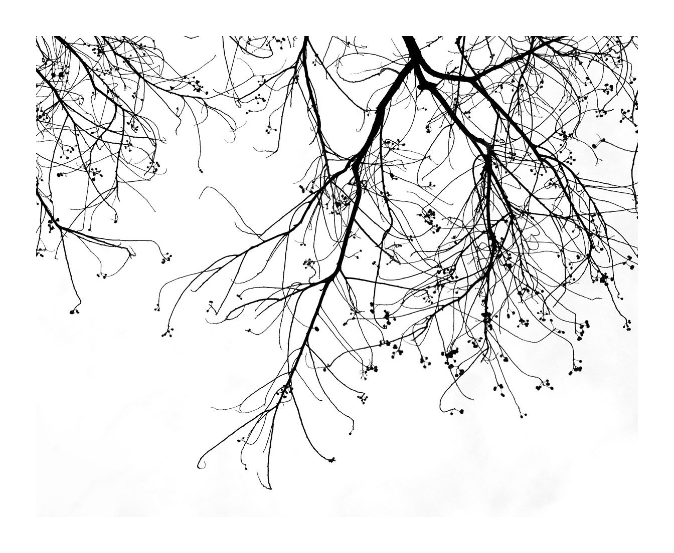Branches and Seeds, no 8, black and white nature photograph, winter season 8x10 print - imagadikt