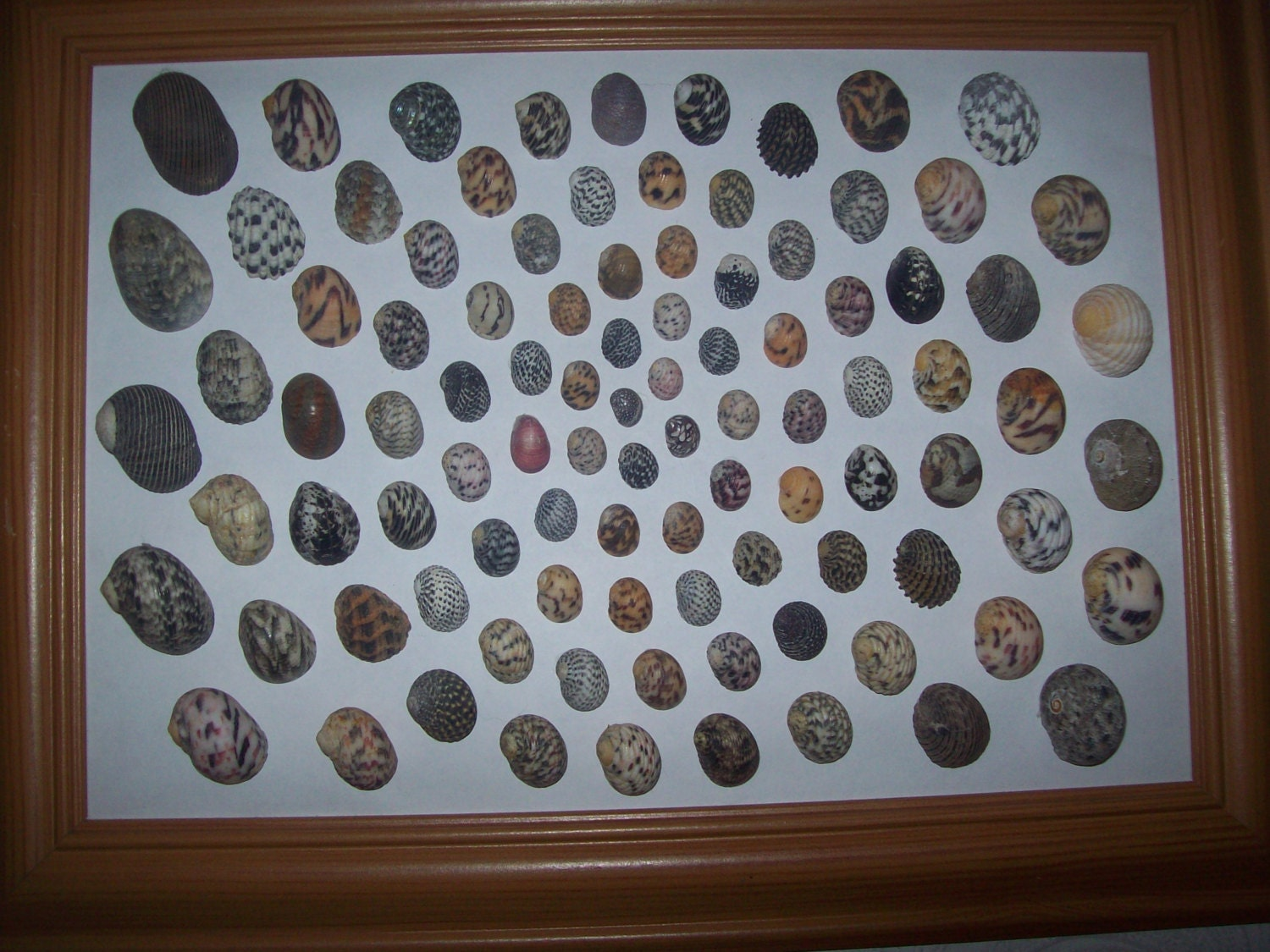 Collection of Marine Nerite Shells Framed from an Old Collection