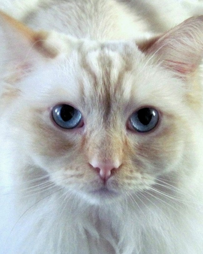 "White Blue Eyed  Kitten,  8 x 10, ""He's A HONEY Of A Ragdoll Kitten"", Nursery Photo,  Sweet, Dreamy Pastels"