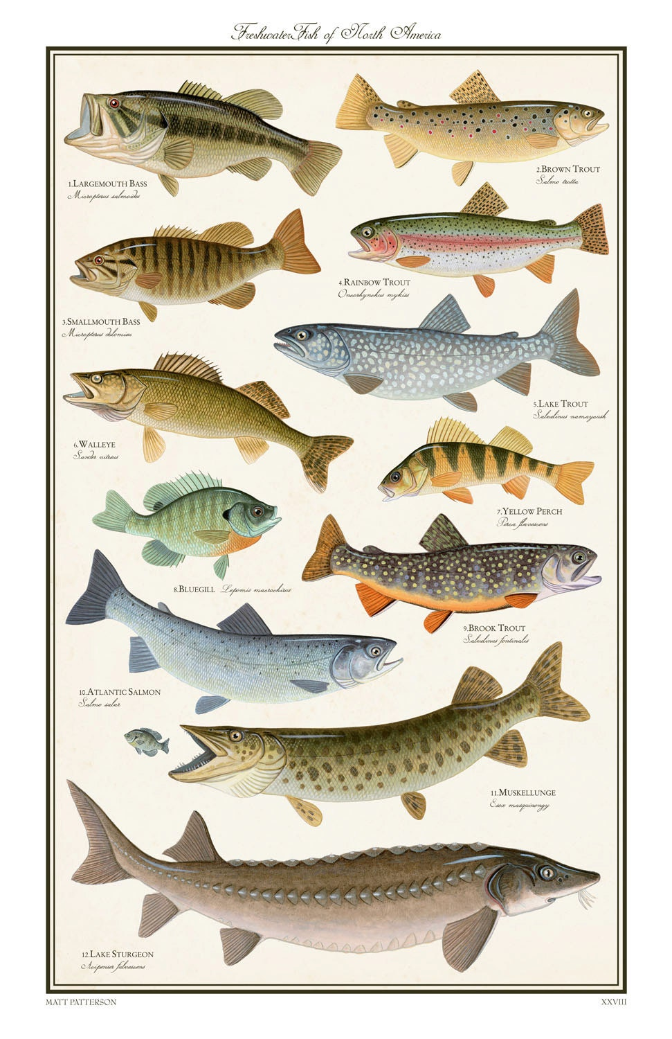 Nc freshwater fish species pictures to pin on pinterest for Freshwater fishing in north carolina