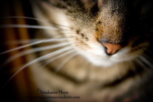 Cat Photography, fine art cat print - stephaniemoon