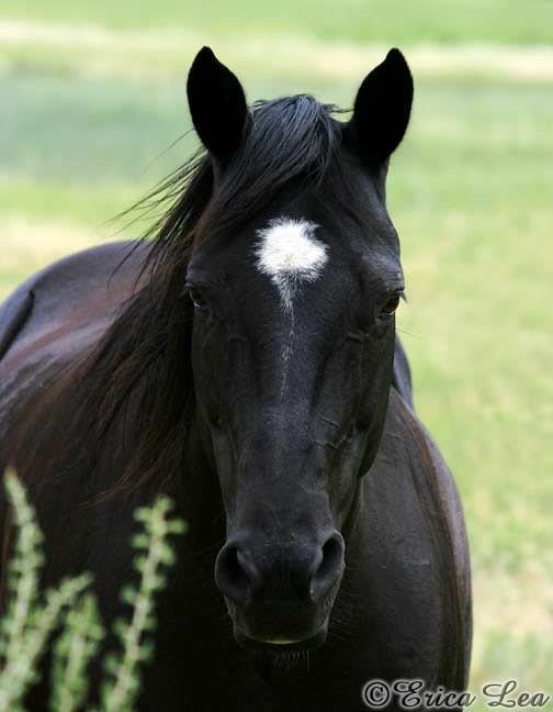 Quarter Horse Black Black Quarter Horse Ph...
