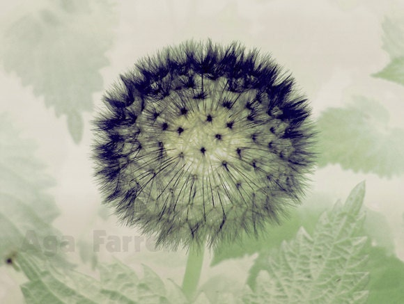 Dandelion Art Print - Nature Decor, Flower Photograph - Sage Green, Black White, Original Signed Fine Art, 5x7 - AgaFarrell