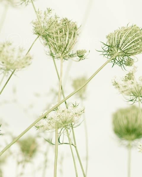 "No. 6 of Long Grass Series- queen anne lace in soft sage green tones, 8x10"" (20x25cm) fine art print - JoannasFoto"