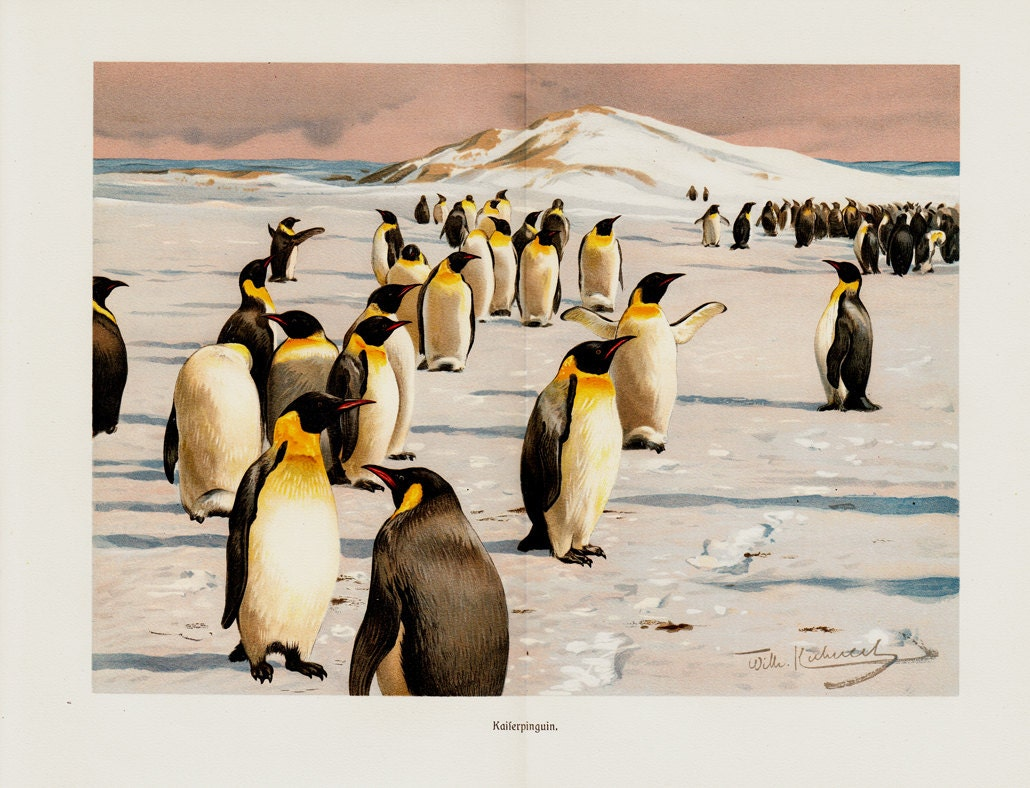 1899 Antique fine EMPEROR PENGUIN  lithograph of the tallest and heaviest of all living penguin species and is endemic to Antarctica - TwoCatsAntiquePrints