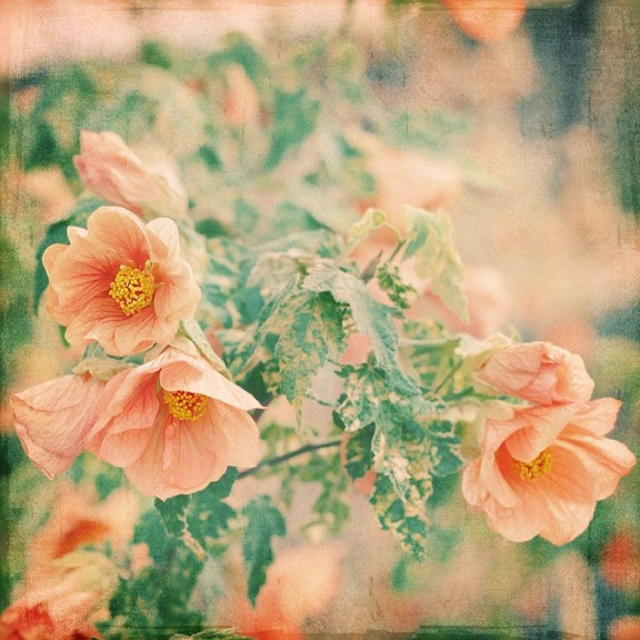 Shabby Chic Photography - Its Love 5x5 Photograph - apricot peach pastel gift for gardener summer garden flower print Under 15 - alicebgardens