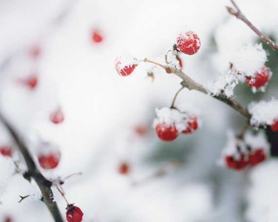 Winter Berries Red Berries Bittersweet Rustic White Snow Winter Photography Red Gray 8 x 10 Fine Art Print - ShadetreePhotography