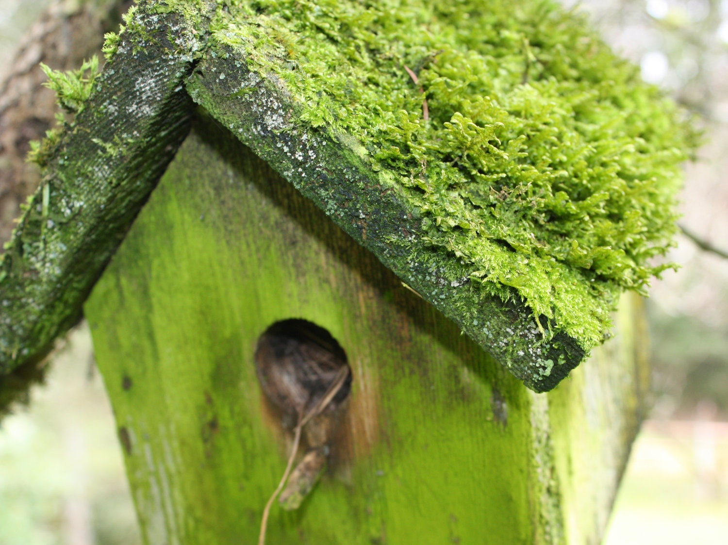Bird House Photograph, Bright Green Moss, 8x10 Photograph / Home Decor - SandraLynns