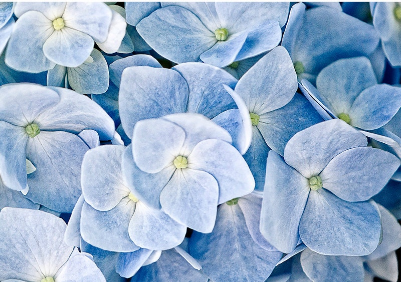 flower photograph flower photography fine art photography nature print wall decor, Hydrangea macro pale baby blue and cream - SarahHollander
