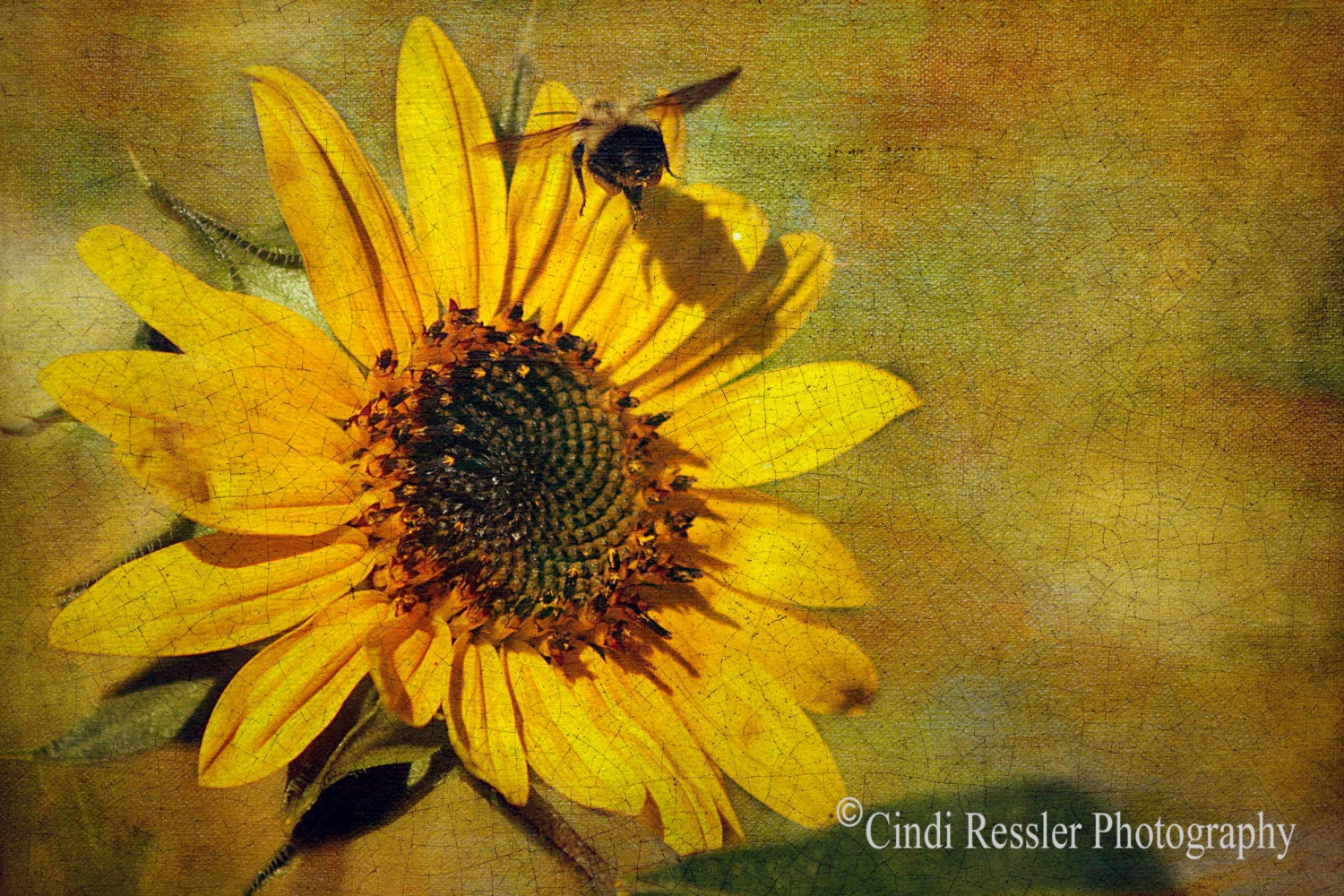 Sunflower with Bumble Bee, 5x7 Fine Art Photogrpahy, Flower Photography, Floral Photography - CindiRessler