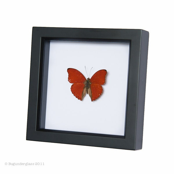 Framed Butterfly Display Heart Shaped Real Insect Shadowbox - BugUnderGlass