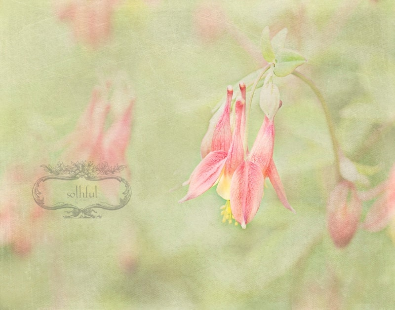 Pink Columbine Flower Hahnemuhle Fine Art Giclee Photograph Print 8x10 Matted