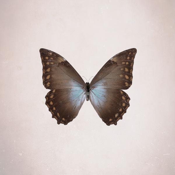Blue Morpho Butterfly, Nature photography, Indigo / Brown, Fall Colors, Pastel, Neutral, Wall Decor, 5x5 - Raceytay