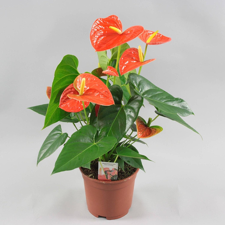 Влаголюбивые комнатные растения Декоративные растения - описания 6