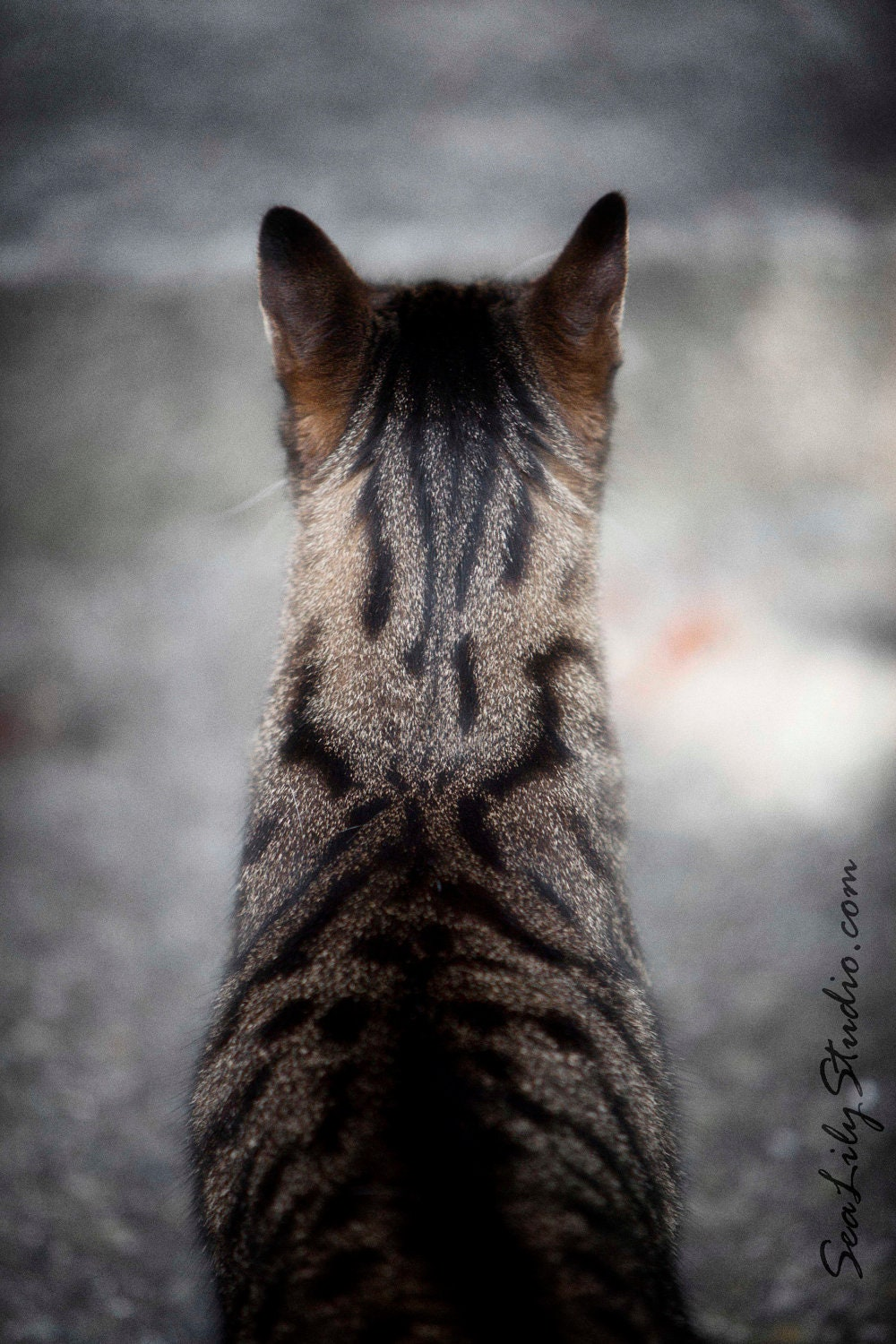 Henry's Head 8x12 : cat photo animal pet photography tabby cat lover tan black tiger home decor fine art print - SeaLilyStudio