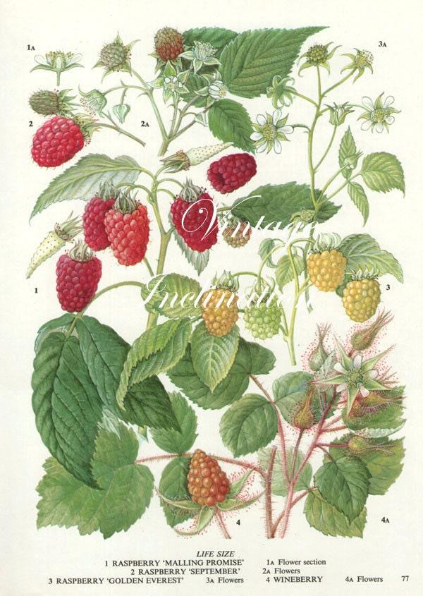 Vintage Botanical Print Antique Raspberries By