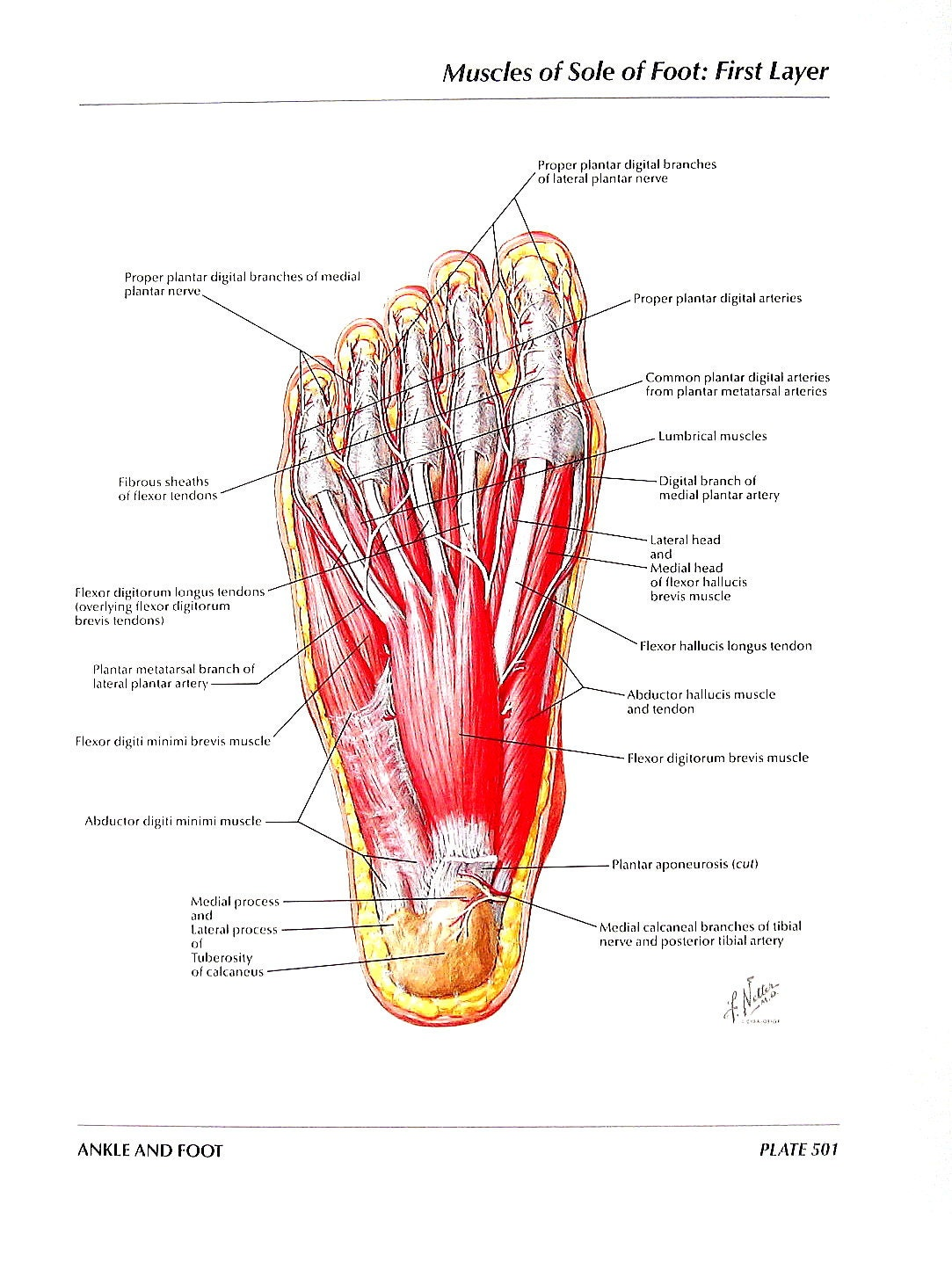 Anatomy of foot muscles