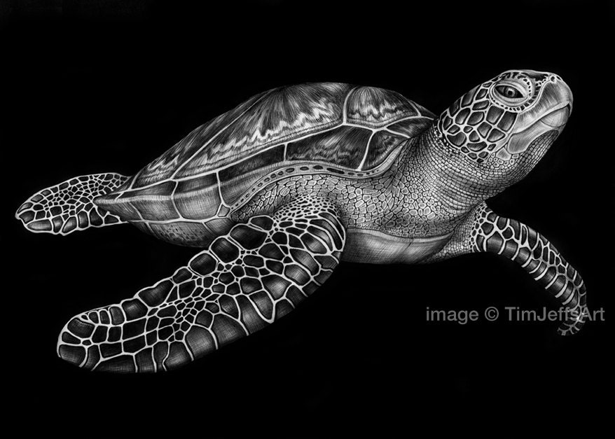 Green sea turtles drawing
