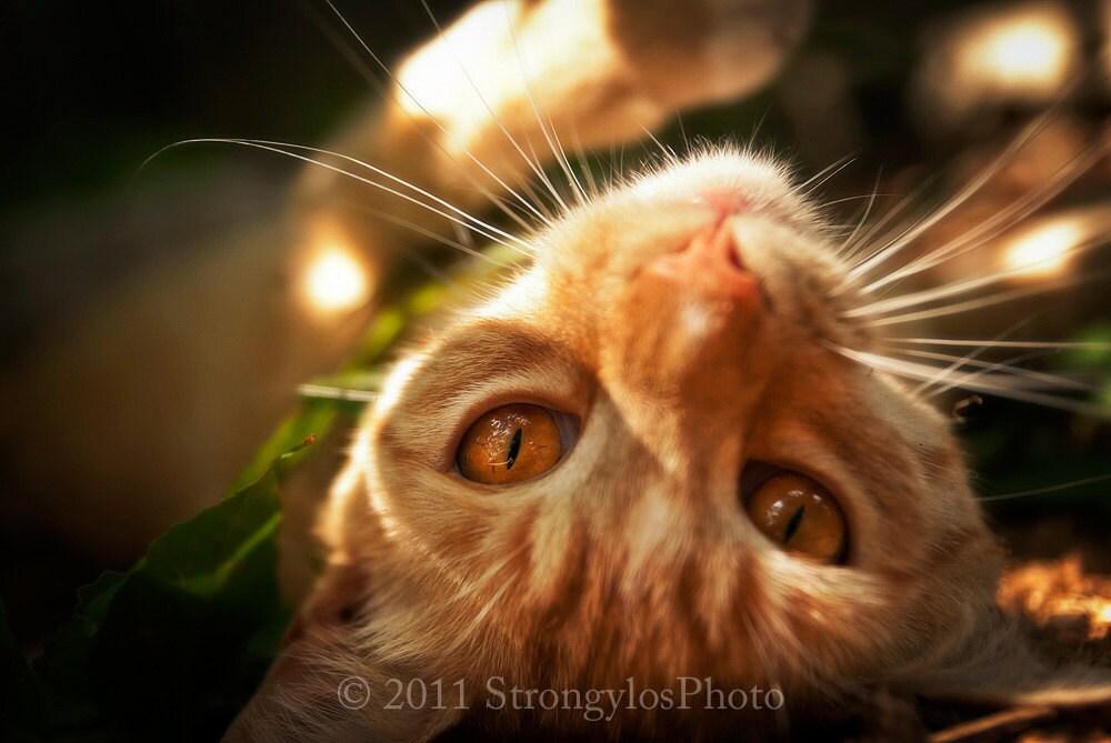 Orange Cat With Amber Eyes