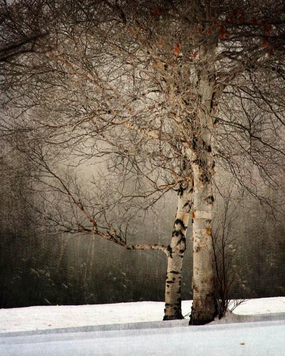 Birch tree landscape photography nature winter snow office decor home decor Fine Art Photograph - judeMcConkeyPhotos