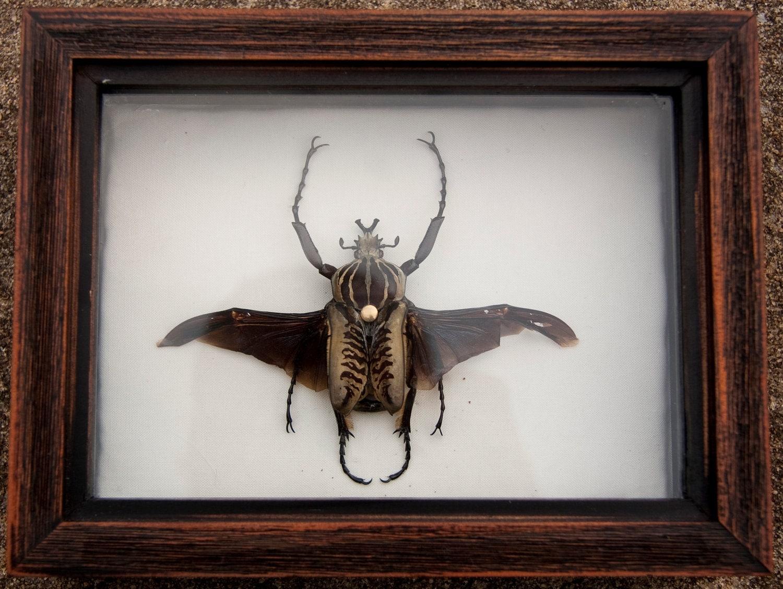 Steampunk goliath beetle