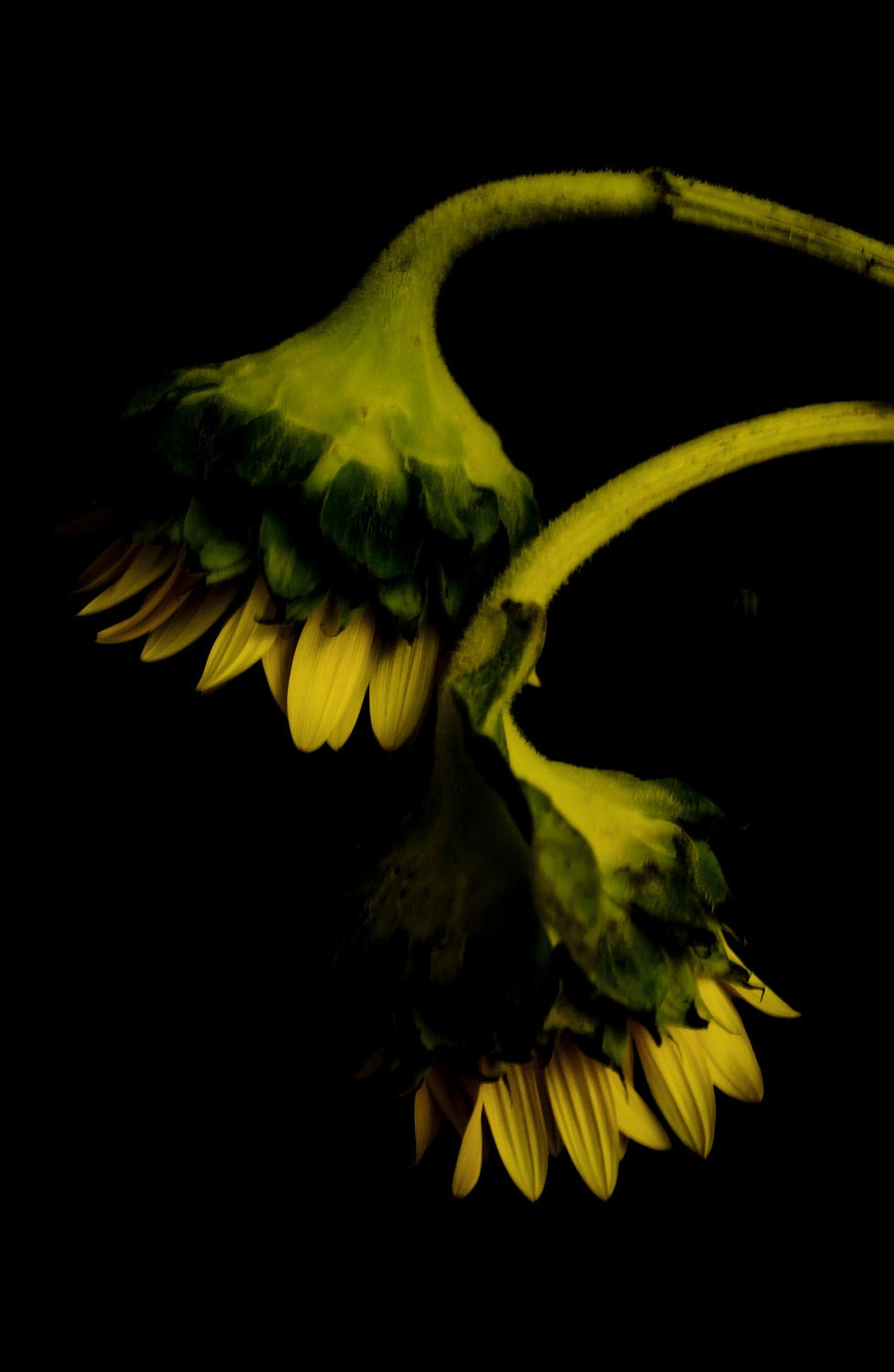 Lost Violent Souls - Dead Sunflower Series - Fine Art Photography by Sabato Visconti - Archival Print - 8 x 12 - Signed - Sabatobox